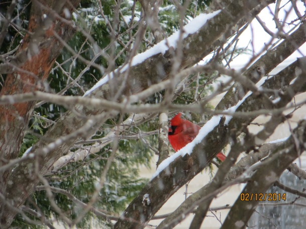 The cardinal is the state bird of North Carolina and they live in our back yard during the winter months
