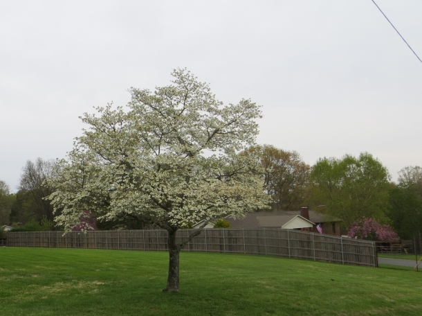 Dogwood Tree In a Neighbor's Yard