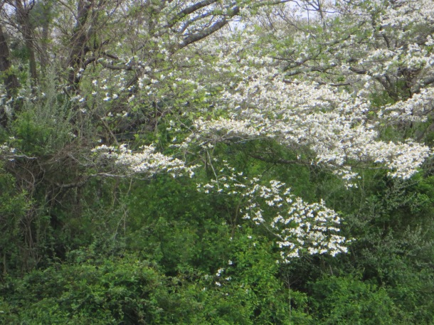 Dogwood Trees are part of the woodland landscape too.