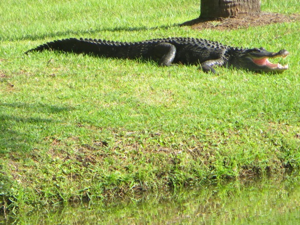 Alligator Sunning Himself on Bank of a Lagoon
