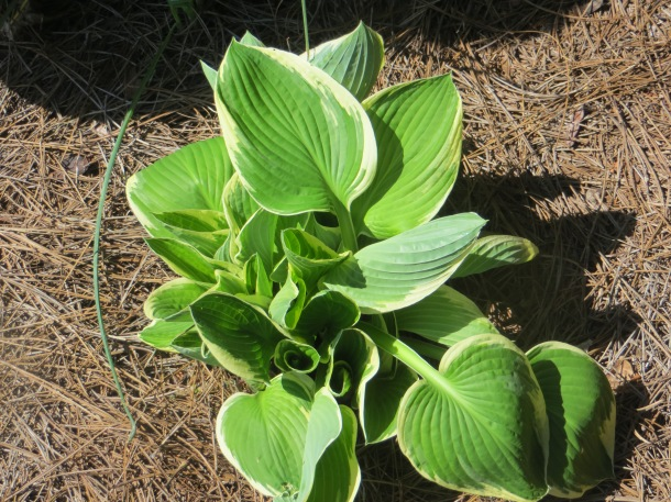 One of the hostas that I recently divided and transplanted.