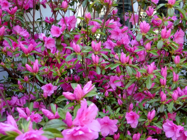 A closeup of the azalea in bloom