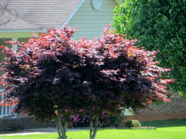 Another neighbor's Japanese Maple that I admire so much