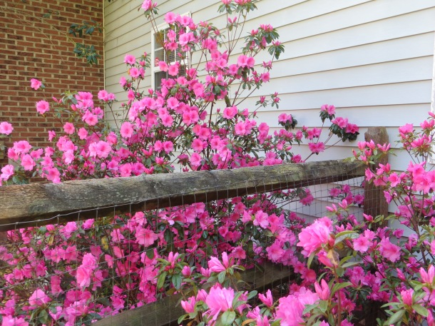 Azaleas in Bloom in our side yard