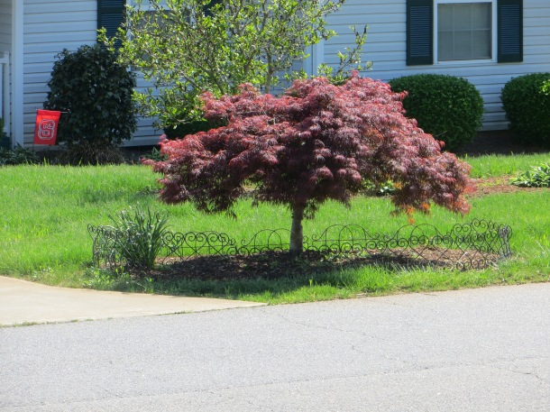 A dwarf Japanese Maple in a neighbor's yard