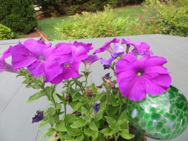 Petunias - A great choice for the hot humid South