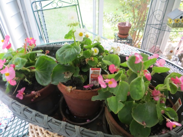 Begonia in three individual pots that I placed in our sunroom
