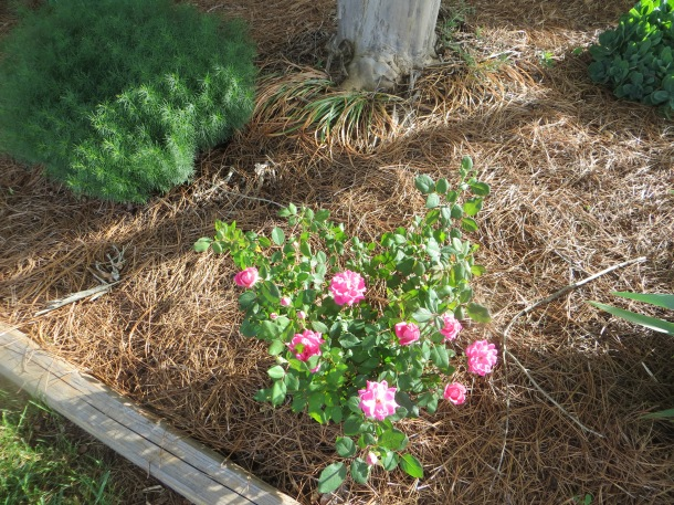 Another rose bush that was in our yard when we bought the house several years ago